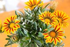 Gazania kwiatu miejscowy Południowa Afryka, ale zakłada szeroko w Austr Obrazy Royalty Free
