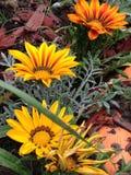 Gazania kwiaty Obrazy Royalty Free