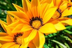 Gazania kwitnie - żółte stokrotki z zielonym folliage zdjęcie stock