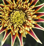 Gazania Montezuma Photo stock