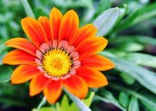 Gazania pavonia Royalty Free Stock Image