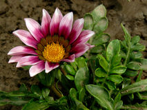 Gazania Stock Photography