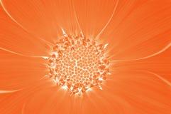 gazania pomarańcze Obraz Royalty Free