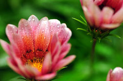 Gazania in the rain Stock Photography