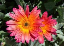 Gazania Rigen daisy like flowers in bright light Royalty Free Stock Photo