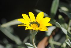 Gazania rigens. Flower in the Royal Botanic Garden Melbourne, Australia royalty free stock photography