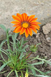 Gazania rigens or Gazania splendens Stock Photo