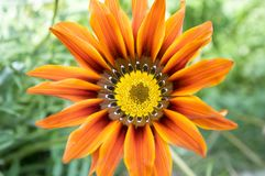 Gazania rigens, gazania splendens, treasure flower, talent mix in bloom stock image