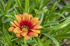 Gazania rigens, manchmal genannt Schatzblume, ist die Spezies der blühender Pflanze im Familie Asteraceae, gebürtig zu südlichem  stockfoto