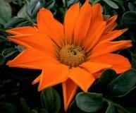 Gazania Rigens Treasure orange Flower stock photography