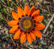 Gazania rigida wildflower Zdjęcie Stock