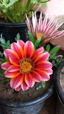 Gazania rose Photographie stock