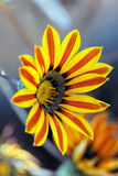 Gazania. Side view of Gazania with flowers in the background Stock Image