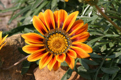 Gazania splendens Stock Images