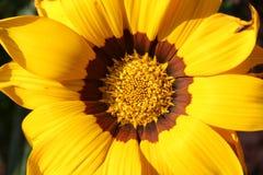 Gazania. A splendid blooming gazania in the sun Stock Photography