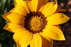 Gazania. A splendid blooming gazania in the sun Royalty Free Stock Image