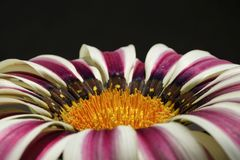 Gazania Splendor Daybreak Flower On Black Background.Close Up