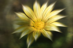 Gazania. Summer, yellow gazania on green background Royalty Free Stock Images