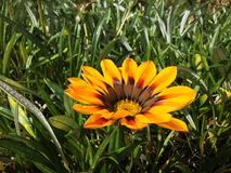 Gazania talent red shade flame on the Aegean coast. Beautiful Gazania talent red shade flame on the Aegean coast royalty free stock images