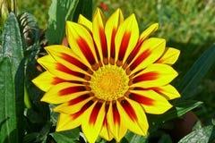 Gazania, Treasure Flower. A closup of a vivid Gazania flower Royalty Free Stock Images