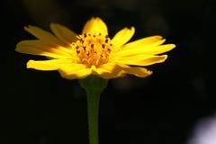 Gazania Uniflora Στοκ Φωτογραφία