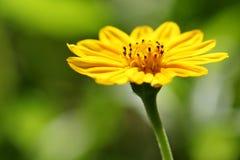 Gazania Uniflora Στοκ εικόνες με δικαίωμα ελεύθερης χρήσης
