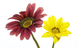 Gazania in a white background Stock Image
