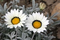 Gazania with white flowers and yellow heart Royalty Free Stock Image