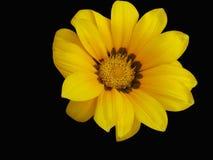 Gazania yellow. Yellow gazania with a black background Royalty Free Stock Image