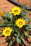 Gazania Yellow Flowers. Beautiful and lovely Gazania yellow flowers with black crown planted in a garden Royalty Free Stock Image