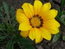 Gazania yellow. Yellow gazania with a nature background Royalty Free Stock Photography