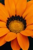 Gazaniablütendetail (Gazania rigens) Lizenzfreie Stockfotografie