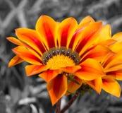 Gazaniablomma för kortdesign för bakgrund white för affisch för ogange för svart fractal för blomma god Arkivfoto