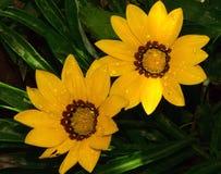 Gazanias amarelos Foto de Stock Royalty Free