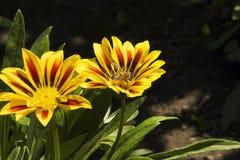 Gazanias amarillos Imagen de archivo libre de regalías