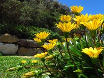 Gazanias amarillos fotografía de archivo