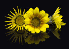 3 Gazanias Reflected - Dark background Royalty Free Stock Image