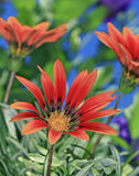 Gazanias rouges Photographie stock libre de droits