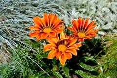 gazaniya gatsaniya hardish杂色菊属植物rigens的橙色花 免版税库存图片