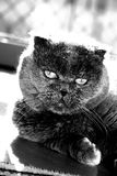 Gaze. Scottish fold cat staring at the camera stock photography