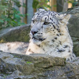 Gaze. A snow leopard sits on a rock Royalty Free Stock Images