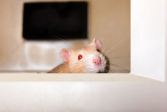 Gaze from within. The muzzle of curious red rat looks out of the monitor Stock Photos