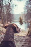 Gaze into the distance. Brown German shorthaired pointer head Royalty Free Stock Image
