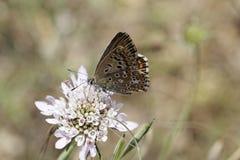 Gaze-geflügelter Schmetterling auf einer Skabioseblüte Stockbilder