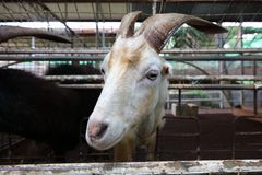 Gaze from the goat. royalty free stock photos