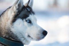 Gaze husky dog. Portrait of husky close up at winter time Stock Images