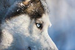 Gaze husky dog. Portrait of husky close up at winter time Stock Image