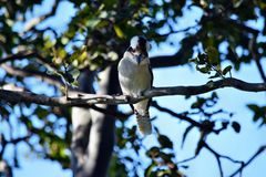 Gaze kookaburra on the branch. Sunshine Coast, Queensland, Australia Stock Photos