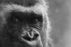 The gaze of a male gorilla. Photo taken in black and white Stock Image