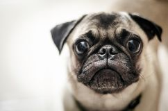 The gaze of a small dog. The small dog was looking someone, close up the face and selective focus Royalty Free Stock Photo